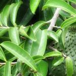 Gambar daun Sirsat