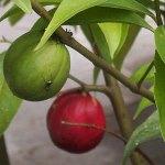 Gambar tanaman Mahkota Dewa
