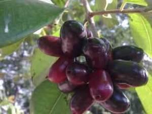 buah juwet untuk obat ngompol